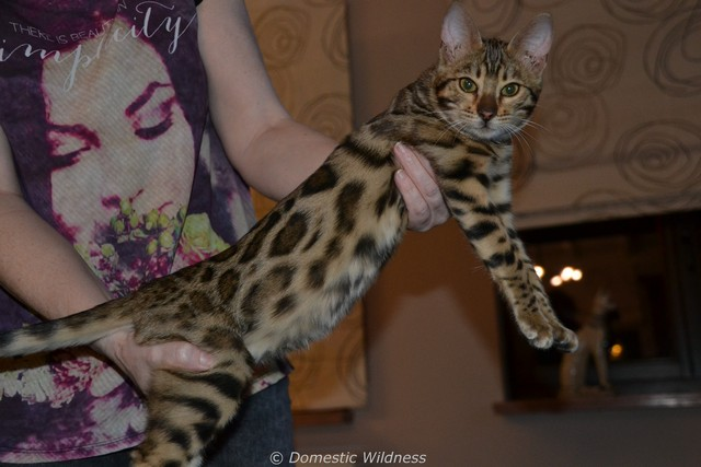 Female Bengal