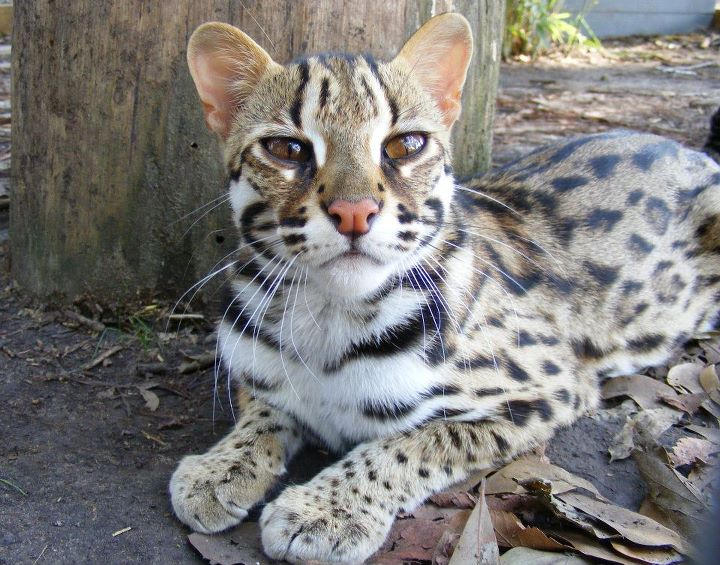 house cat with leopard spots